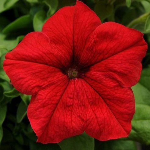 Petunia Express Red - 50 Pelleted seeds